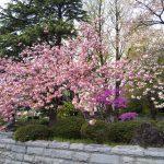 桜とツツジの共演